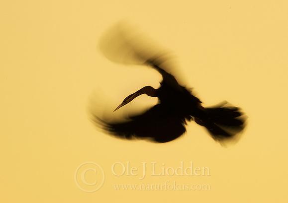 African Darter (Anhinga rufa) (Ole Jørgen Liodden)
