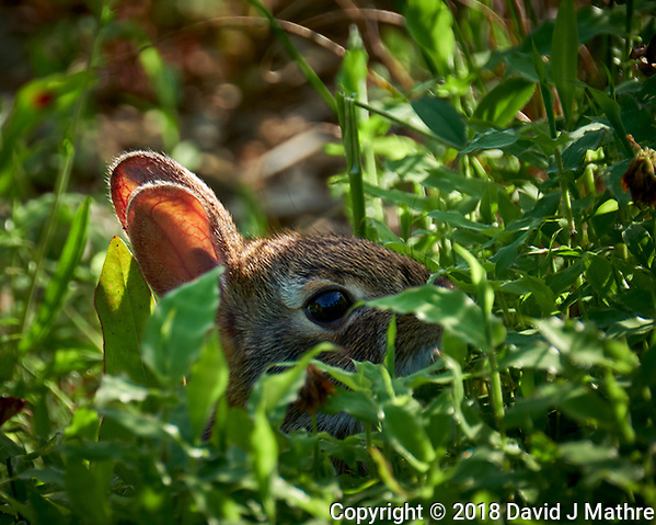 Harvey Jr Hiding in the Tall Grass. Image taken with a Fuji X-T2 camera and 100-400 mm OIS telephoto zoom lens (ISO 200, 400 mm, f/5.6, 1/210 sec) (DAVID J MATHRE)