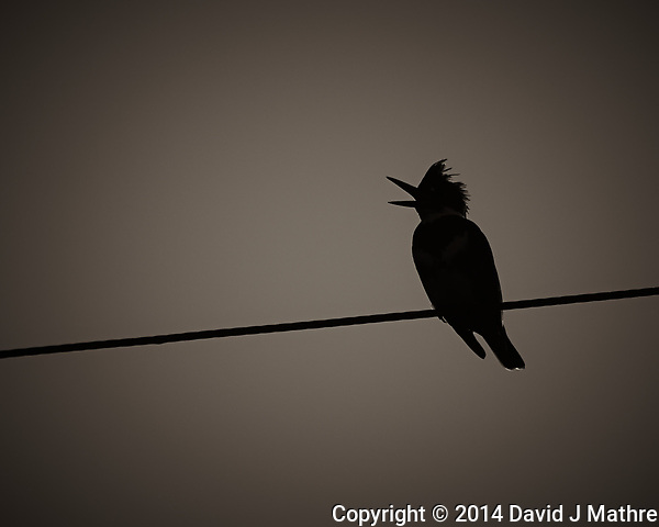 Silhouette of a Kingfisher with its Beak Open Making a Call at Dusk. Big Cypress Swamp in Florida. Image taken with a Nikon Df camera and 80-400 mm VRII lens (ISO 100, 400 mm, f/5.6, 1/2500 sec). Image converted to B&W with Capture One Pro 7. (David J Mathre)