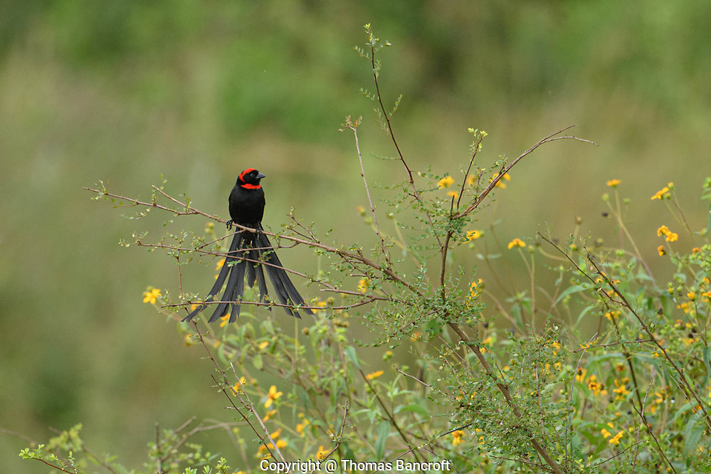 The Red-collared Widowbird landed on an exposed branch after doing his fluttering display over the adjacent grasslands in Nairobi National Park. (Thomas Bancroft)