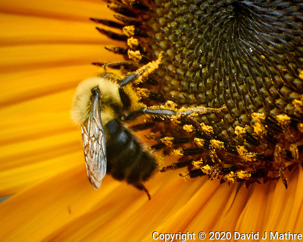 Bee collecting pollen on a Sunflower. Image taken with a Nikon N1V3 camera and 70-300 mm VR lens (ISO 800, 300 mm, f/5.6, 1/100 sec). (DAVID J MATHRE)