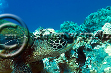 Green Sea Turtle, Chelonia mydas, (Linnaeus, 1758), Lanai Hawaii (Steven Smeltzer)