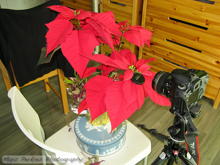 This image shows the setup for one of my poinsettia flower closeup images.  My Canon 30D is sitting on my Manfrotto tripod with a cable release and my 60mm EFS lens pointing at a poinsettia that has a mature female flower emerging from the involucre.  Behind the potted plant is a chair with a black T-shirt hanging on it to act as a background. (Marc C. Perkins)
