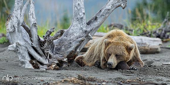 Brown bear lying on beach under drift wood;  Lake Clark NP, Alaska in wild. (Nathan Lovas)