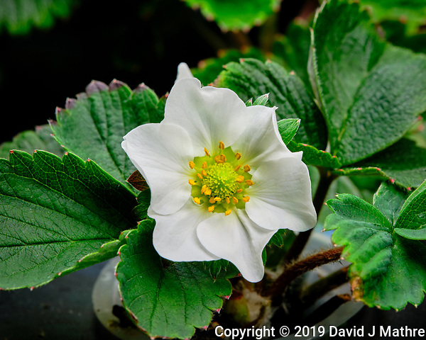 Strawberry Flower. AeroGarden Farm 07 Right. Fuji X-T3 camera and 80 mm f/2.8 OIS macro lens (ISO 160, 80 mm, f/14, 1/30 sec). (DAVID J MATHRE)