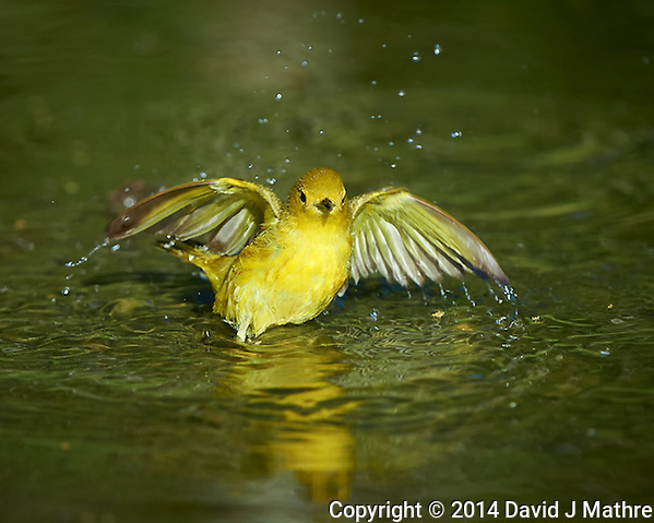 Yellow Warbler Taking a Bird Bath. Southern Texas Birding Safari. Image taken with a Nikon D4 camera and 500 mm f/4 VR lens (ISO 280, 500 mm, f/5,6, 1/600 sec). Raw image processed with Capture One Pro, Focus Magic, and Photoshop CC 2014. (David J Mathre)