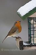 Rotkehlchen, an der Vogelfütterung, Fütterung im Winter bei Schnee, an Häuschen mit Fettfutter, Energiekuchen, Winterfütterung, Erithacus rubecula, robin (Frank Hecker)