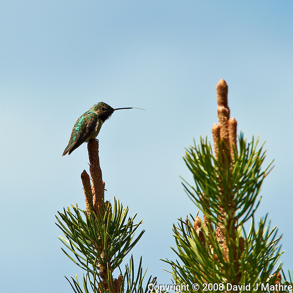 Male Broad-tailed Humming Bird at Lily Lake in Rocky Mountain National Park. Image taken with a Nikon D3 and 70-200 mm f/2.8 VR lens + TC-E II 20 teleconverter (ISO 280, 400 mm, f/11, 1/400 sec). Raw image processed with Capture One Pro, Focus Magic, and Photoshop CS5. (David J Mathre)