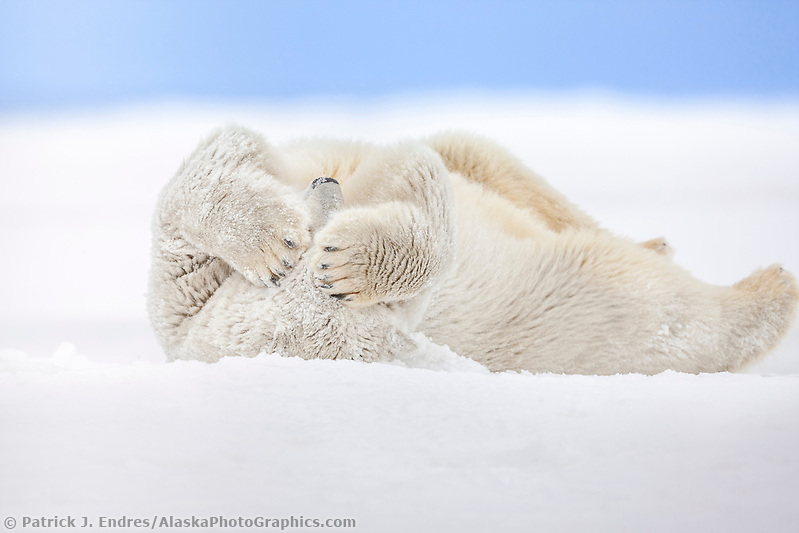Polar bear covers its face with its large paws while rolling in the snow on an island in the Beaufort Sea on Alaska's Arctic coast. (Patrick J. Endres / AlaskaPhotoGraphics.com)