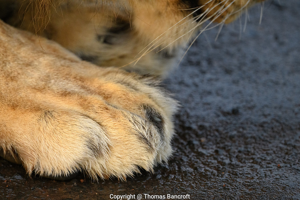 The right front paw of an African Lion. (Thomas Bancroft)