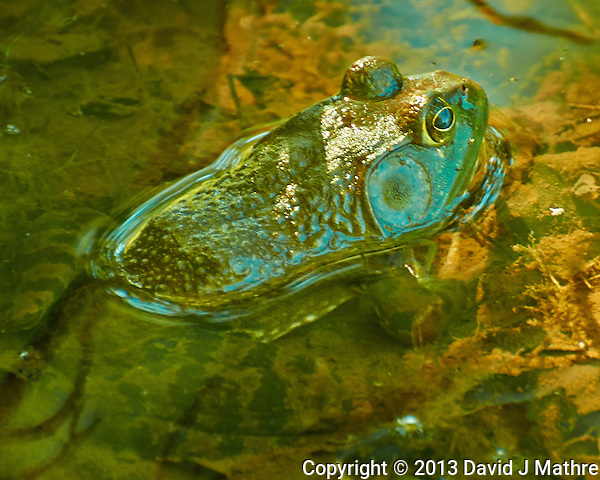 Kermit the Bullfrog in a Pond at the Sourland Mountain Preserve. Summer Nature in New Jersey. Image taken with a Nikon 1 V2 + FT1 + 70-300 mm VR lens (ISO 800, 300 mm, f/5.6, 1/40 sec). [FOV Equivalent to ~ 810 mm on a 35 mm image sensor] (David J Mathre)