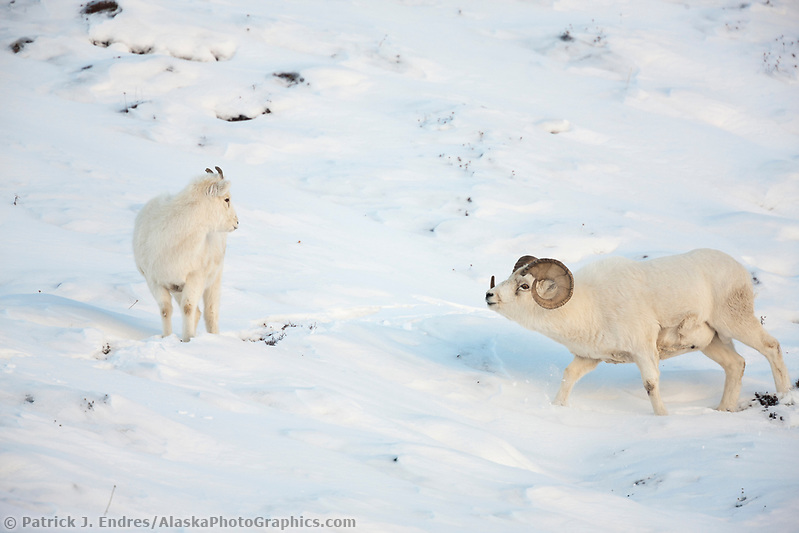 Dall sheep photos: Dall sheep ram follows ewe in the winter snow during the rut in Atigun canyon, Brooks Range mountains. (Patrick J. Endres / AlaskaPhotoGraphics.com)