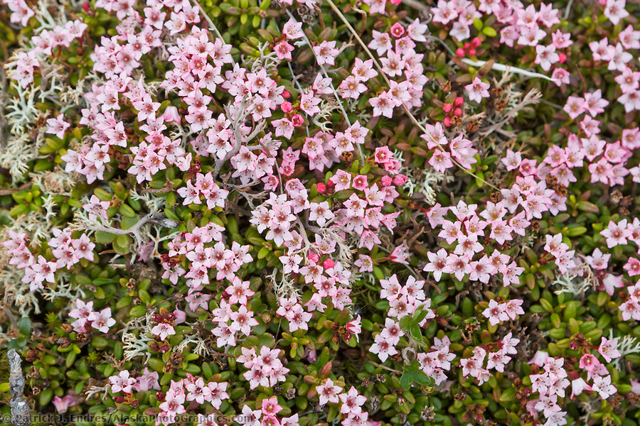 Alpine Azalea blossoms on the spring tundra in Denali National Park, Alaska (Patrick J. Endres / AlaskaPhotoGraphics.com)