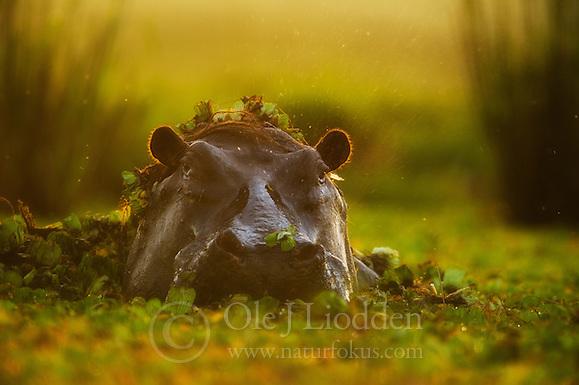 African Hippopotamus (Hippopotamus amphibius) in Masai Mara, Kenya (Ole Jørgen Liodden)
