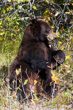 Cinnamon  Black Bear hunting Choke Cherries in Grand Teton National Park.