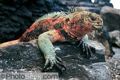 Galapagos Marine Iguana breeding colors, Galapagos Islands, Ecuador, South America.