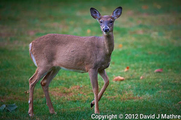 Deer in my backyard before Hurricane Sandy. Image taken with a Nikon D4 and 500 mm f/4 VR lens (ISO 800, 500 mm, f/4, 1/500 sec). (David J Mathre)