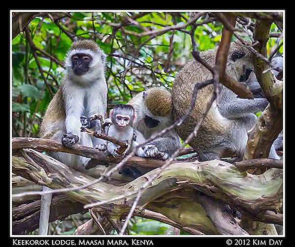 Vervet Monkey Family.Keekorok Lodge, Maasai Mara, Kenya.Sepember 2012 (Kim Day)
