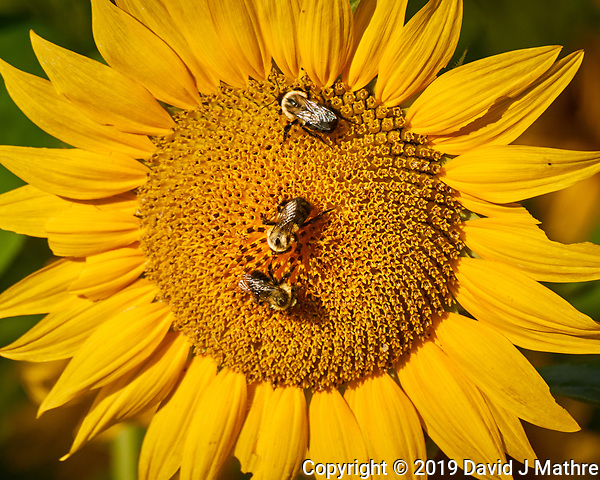 Three Bumble Bees on a Sunflower. Image taken with a Nikon 1 V3 camera and 70-300 mm VR lens (ISO 200, 300 mm, f/5.6, 1/640 sec) (DAVID J MATHRE)
