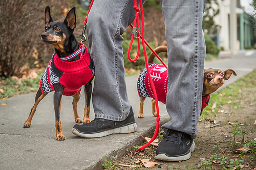 """These are their new Christmas sweaters...they don't much like the cold.""  -Don Marney walks his rescue ""minpins"", Jady and Roc, on Christmas day. (Clark James Mishler)"