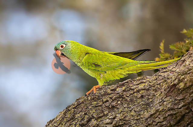 Blue-crowned parakeet perched on tree in Florida (sandra calderbank)