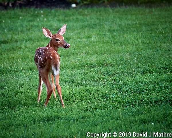 Fawn with spots sticking out its Tongue. Image taken with a Nikon D5 camera and 200-500 mm f/5.6 lens. (DAVID J MATHRE)
