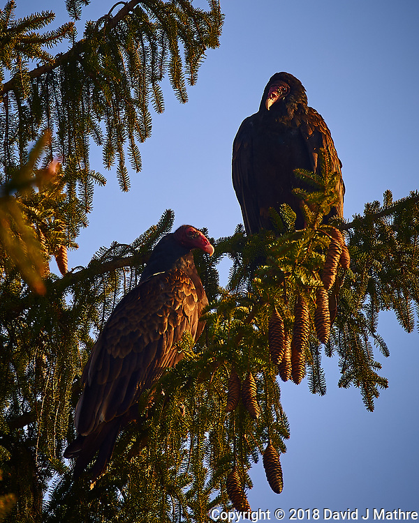 Two Turkey Vultures in the Late Afternoon Sun. Image taken with a Nikon D4 camera and 80-400 mm VRII telephoto zoom lens (ISO 280, 400 mm, f/5.6, 1/400 sec). (David J Mathre)