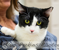 Porsche, a less than year old short-haired white and black bicolor female cat with yellow green eyes up for adoption at Miss Kitty's Rescue in Costa Mesa, CA, is held by Mindy, owner of Miss Kitty's Rescue.  Porsche is sisters with Zoey (seen in other pictures), and the two need to be adopted together as a pair.  She has a cute black spot on her pink nose, and is probably a mask-and-mantle pattern. Porsche has a nipped left ear, a sign that she may have been captured in a catch-and-release spay program for feral cats.  This picture was taken pro bono for Miss Kitty's Rescue to help them advertise the cats for adoption. (Marc C. Perkins)