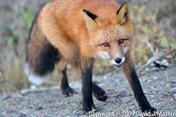 Red Fox. Image taken with a Nikon D3 camera and 80-400 mm VR lens (ISO 1600, 150 mm, f/5.6, 1/1000 sec). (David J Mathre)