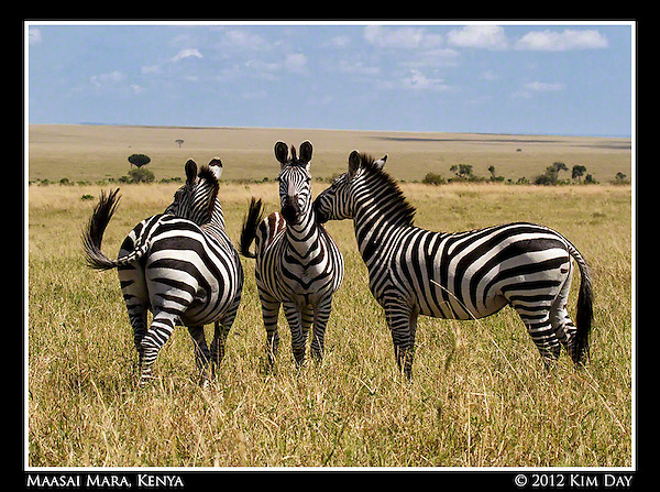 Three Zebra.Maasai Mara, Kenya.September 2012 (Kim Day)