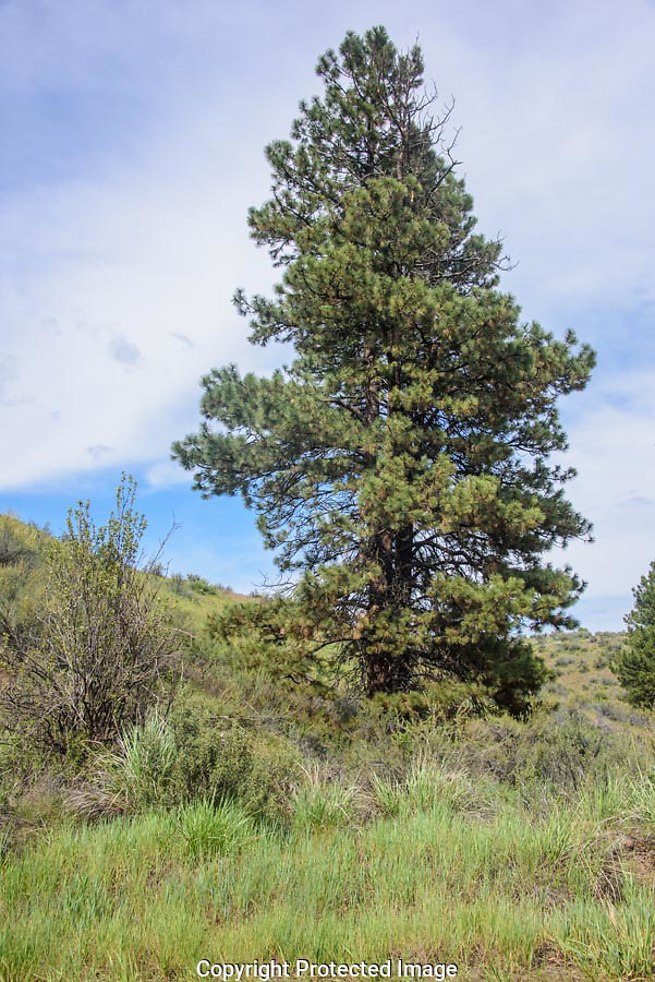 Many bird species seem to come to this ponderosa pine during the time I sat and watched. (Thomas Bancroft)