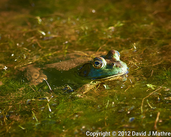 Kermit the Frog in the pond. Sourland Mountain Preserve. Image taken with a Nikon D800 camera and 300 mm f/2.8 lens (ISO 100, 300 mm, f/2.8, 1/320 sec). (David J Mathre)