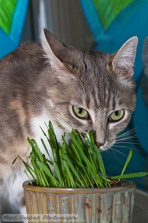 Lucca glares with one ear back behind a pot filled with newly germinated (and nibbled on) oat grass (tack oats; Avena sativa). (Marc C. Perkins)