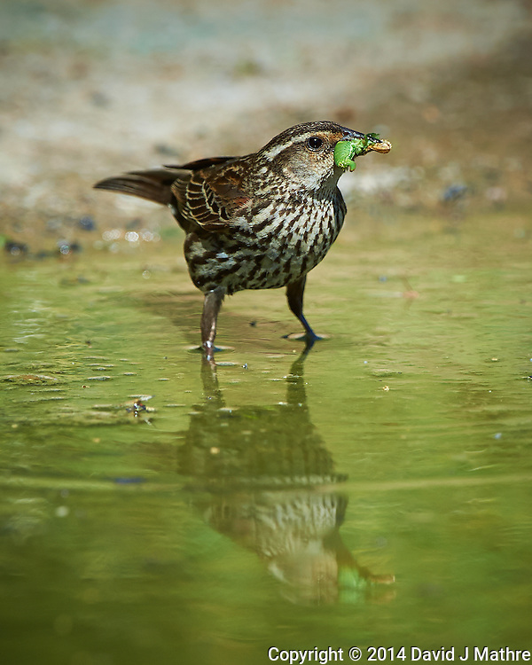 Female Red-Winged Blackbird with Breakfast and Reflection at Dos Vandas Ranch in Southern Texas. Image taken with a Nikon D4 camera and 500 mm f/4 VR lens (ISO 450, 500 mm, f/5.6, 1/2000 sec). (David J Mathre)