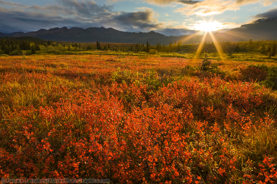 The morning sun rises over the Alaska Range mountains, lighting the crimson dwarf birch tundra, Denali National Park, Interior, Alaska. (Patrick J. Endres / AlaskaPhotoGraphics.com)