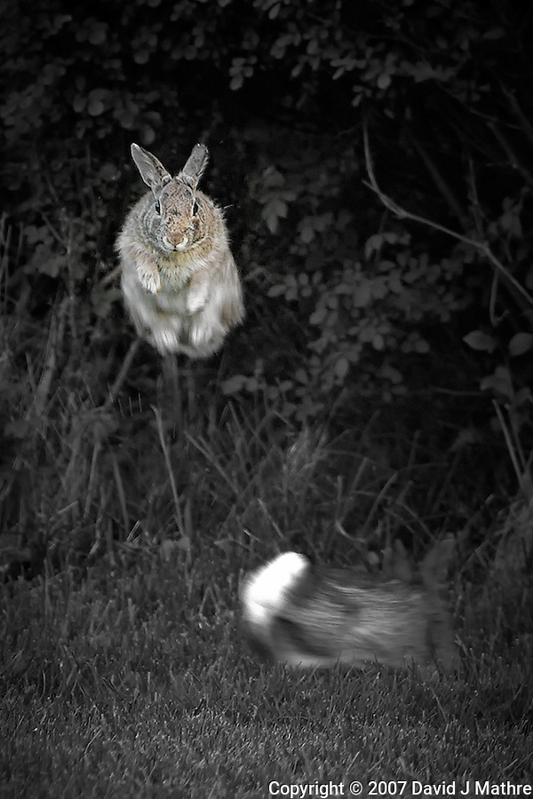Jumping Rabbit. Image taken with a Nikon D2xs and 300 mm f/2.8 VR + TCE-II 14 (ISO 400, 420 mm, f/4, 1/160 sec). (David J Mathre)