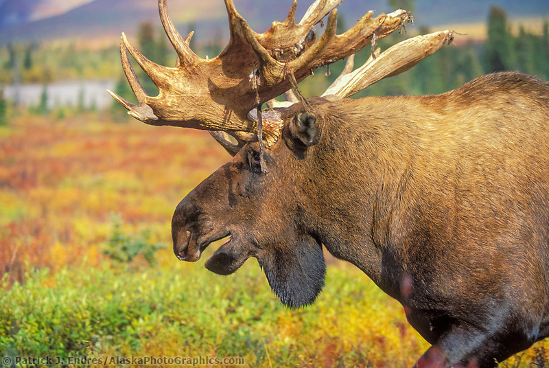 Mose photos: Bull Moose in colorful autumn tundra, Denali National Park, Alaska (Patrick J. Endres / AlaskaPhotoGraphics.com)