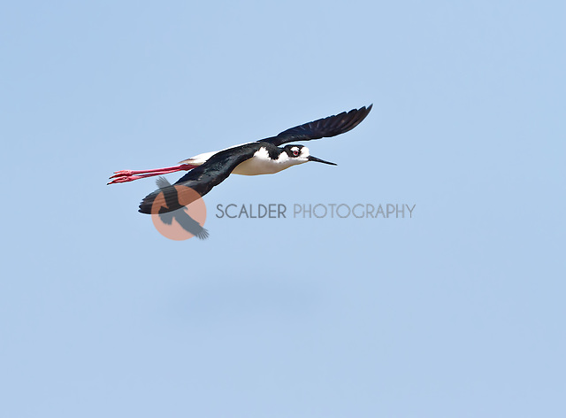 Black-necked Stilt in flight against blue sky (Sandra Calderbank, sandra calderbank)