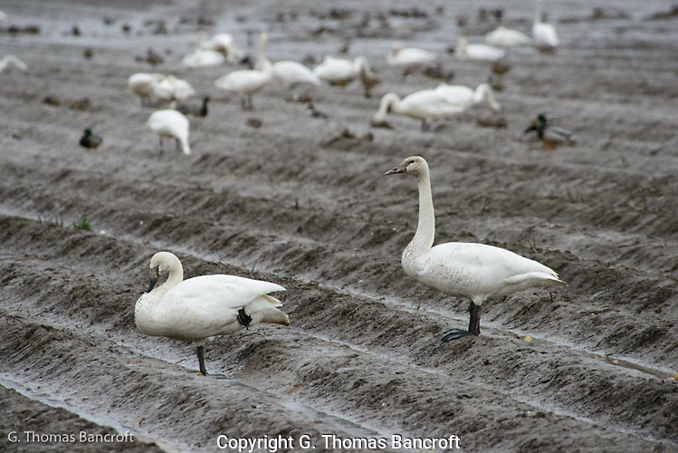 A Tundra Swan stands at alert while its mate rests (G. Thomas Bancroft)