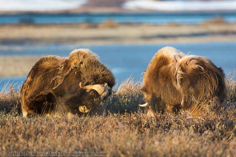 Bull muskox challenge each other by banging their horns, arctic coastal plain, Alaska. (Patrick J. Endres / AlaskaPhotoGraphics.com)