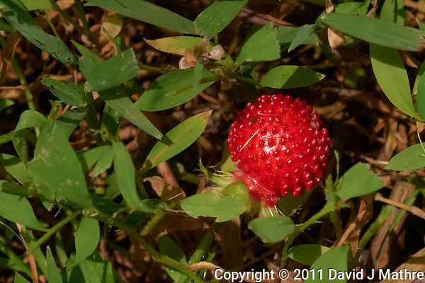 Wild Strawberrhref=