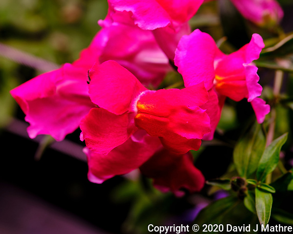 AeroGarden Farm 01-Right. Snapdragon Bloom. Image taken with a Fuji X-T3 camera and 80 mm f/2.8 macro lens (ISO 200, 80 mm, f/8, 1/60 sec). (DAVID J MATHRE)