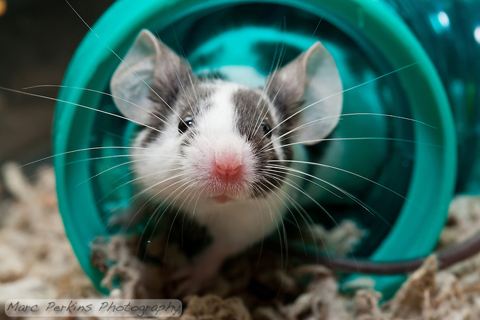 A white and black patched male mouse sniffs at what's outside his green tube.  The focus is dead on his adorable pink nose! (Marc C. Perkins)