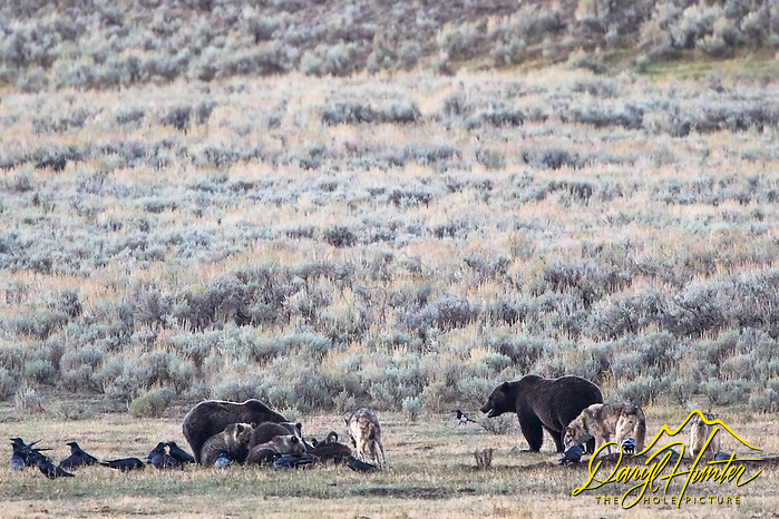 "Grizzly bear and wolves dine together in Yellowstone's Lamar Valley. A grizzly boar, a sow, her three cubs and a pack of wolves share a bison diner. (© Daryl Hunter's ""The Hole Picture""/Daryl L. Hunter)"