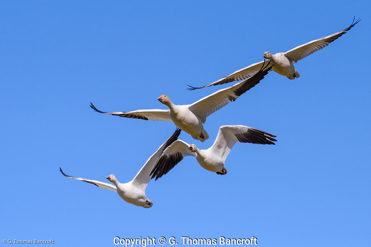 A small flock of snow geese fly directly over head, showing the use of their wings to gain thrust and lift. (G. Thomas Bancroft)
