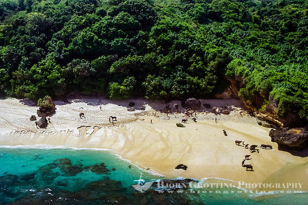 East Nusa Tenggara, Sumba. Horses and cattle on the beach (from helicopter) (Photo Bjorn Grotting)