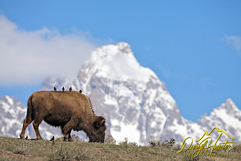 Birds gazing at the Grand Tetons from the back of a bison as if they were a bunch of tourists on a bus. Pardon my anthropomorphisation :D (© Daryl L. Hunter - The Hole Picture/Daryl L. Hunter)