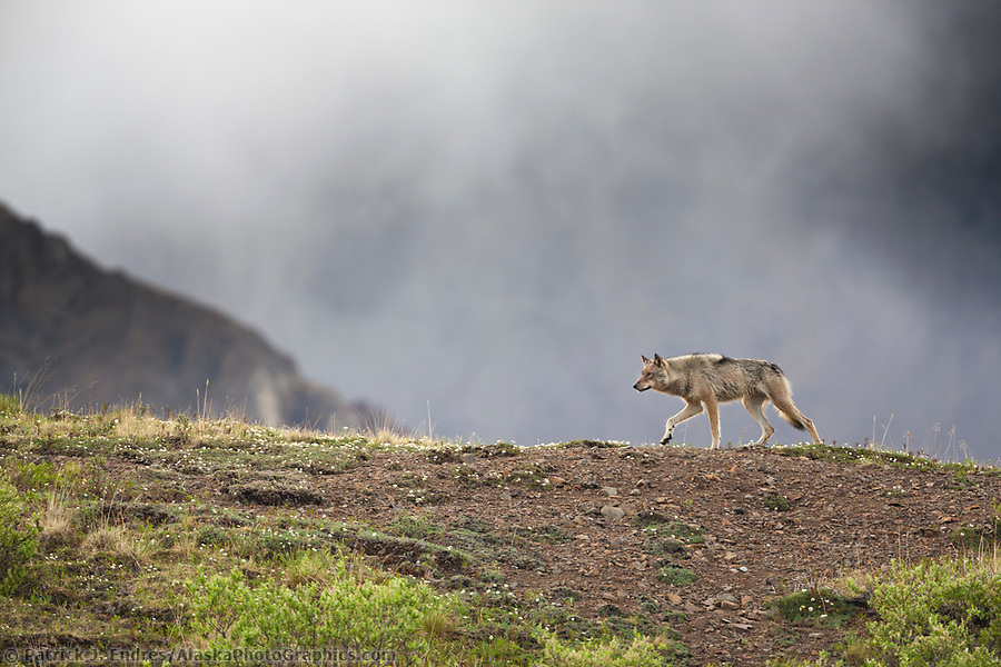 Gray wolf on a mountain ridge in Denali National Park, Alaska. (Patrick J. Endres / AlaskaPhotoGraphics.com)