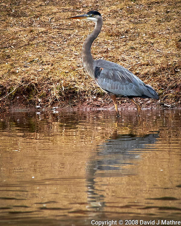 Great Blue Heron at the Sourland Mountain Preserve. Image taken with a Nikon D300 camera and 80-400 mm VR lens (ISO 360, 400 mm, f/8, 1/250 sec). (David J Mathre)
