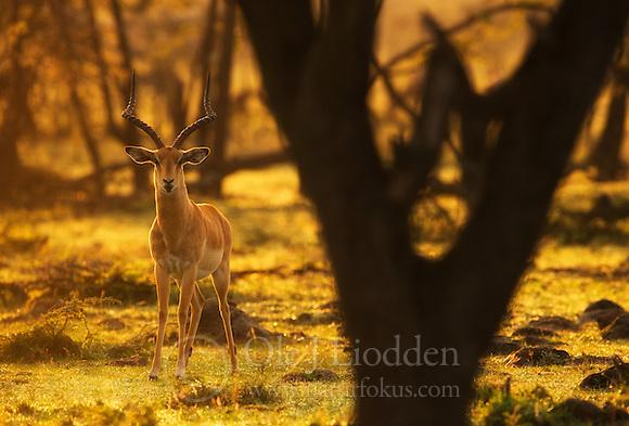 Impala (Aepyceros melampus) in Masai Mara, Kenya (Ole Jørgen Liodden)